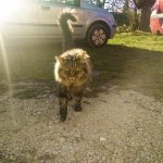 Arcoat, le chat de mes grands-parents, redoutable chasseur de renards depuis son plus jeune âge.